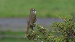 Green-tailed Towhee    (photo by L. Harris)