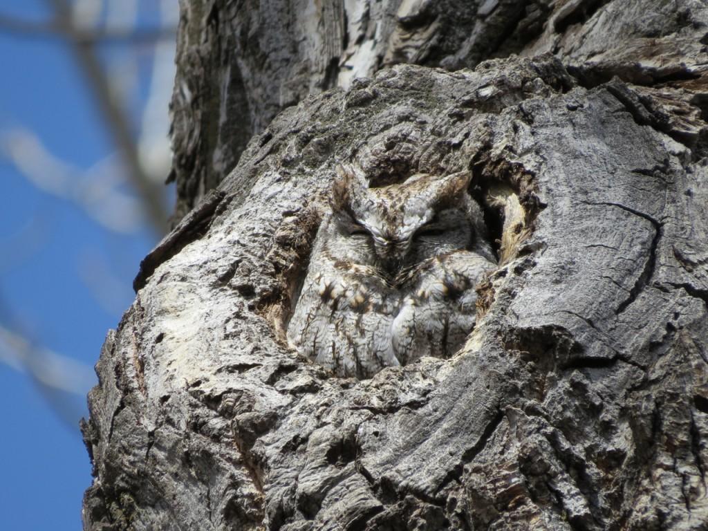 W. Screech-Owl (Mike Vivion)