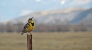 Western Meadowlark  (L. Harris)