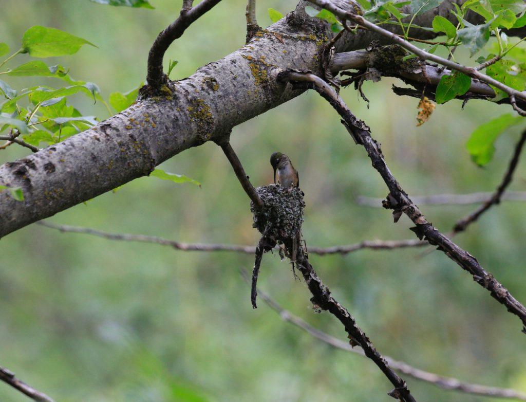 Calliope Hummingbird feeding nestlings. (Lou Ann Harris)