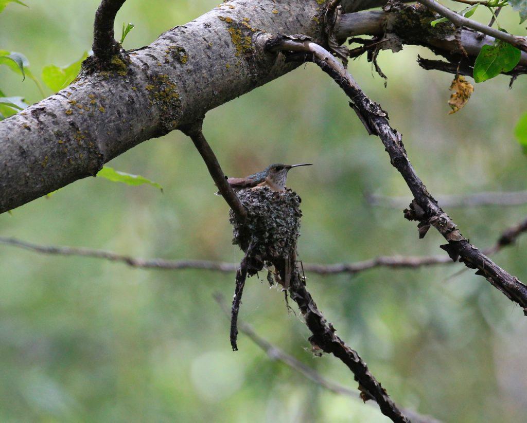 Calliope Hummingbird on her nest. (Lou Ann Harris photo)