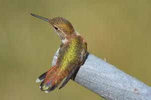 Female Rufous Hummingbird  (J. Parker)