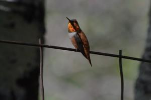 Male Rufous Hummingbird (J. Parker)