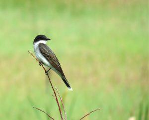 Eastern Kingbird (L. Harris photo)