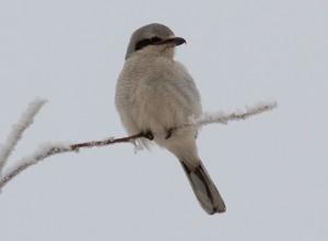 Northern Shrike (Photo by Ed Harper)