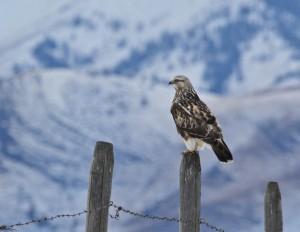 Rough-legged Hawk (L. Harris photo)