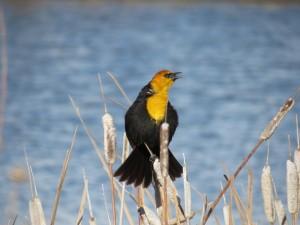 Yellow-headed Blackbird (L. Harris)