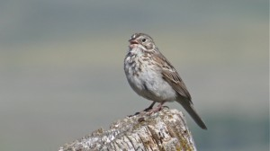 Vesper Sparrow  (L. Harris)