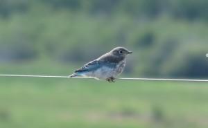 Mountain Bluebird fledging - L. Harris photo