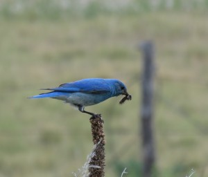 Mountain Bluebird  (L. Harris)