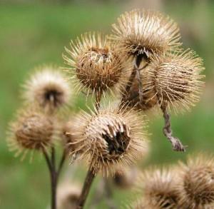 common_burdock_seed[1]