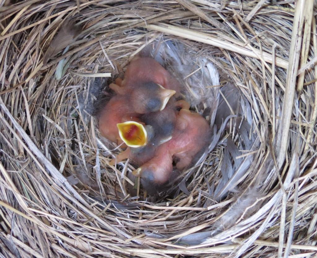 Mtn Bluebird nestlings